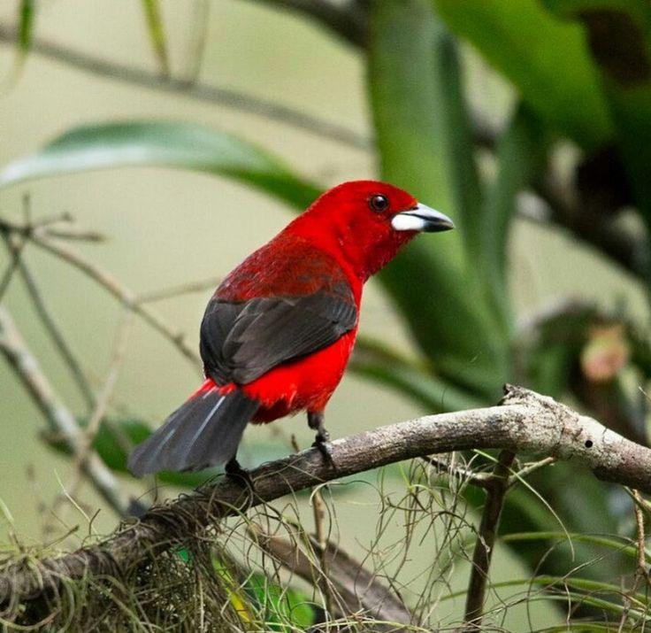 Brazilian tanager - 溫寶麗 - Google+