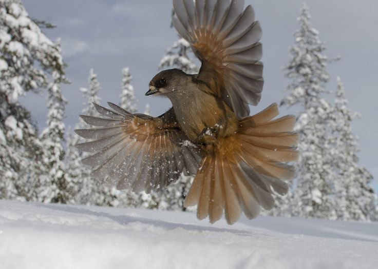 A Siberian jay in mid-flight. | 9 Wildlife Photographs That Are Heartbreaking, Eerie And Beautiful