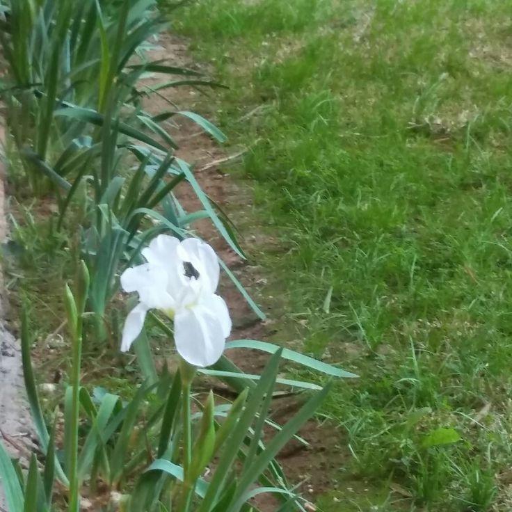 Primer lirio blanco en los jardines de mi Barrio. 1 de febrero de 2018 ..... 🌇🌇🌇