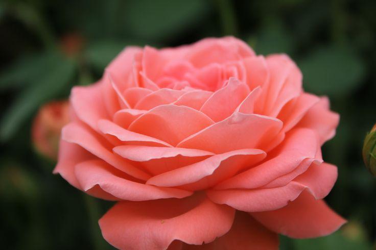 Роза `Шакенборг`