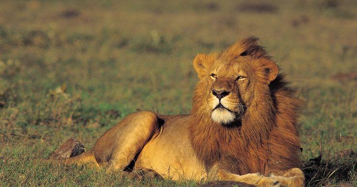 A anatomia da estrutura muscular de um leão. Observar um leão se movendo e caçando revela a anatomia do corpo de um predador feita para velocidade e rapidez. Leões, que pertencem à família Panthera, se movem extremamente rápidos, para animais que pesam cerca de 190 kg. A estrutura muscular de seu pescoço e sua mandíbula dá poder para dominar e matar presas. A leoa faz a caça devido sua ...