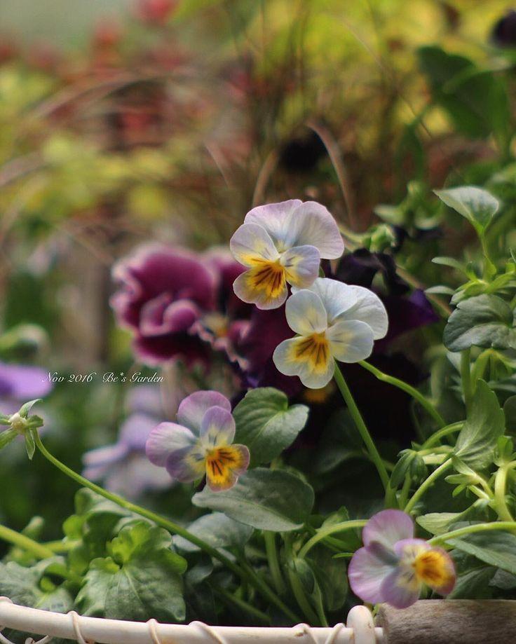 * * お店にパージーやビオラが たくさん並んできましたね♪ 名もない小さなビオラなんだけど この色合いが好きで 毎年 見つけたら同じ感じの買ってるな〜 * * * #マイガーデン#ナチュラルガーデン #ビオラ#庭時間#庭づくり#ガーデニング #手作りの庭#庭のある暮らし #花のある暮らし #mygarden #be_s_garden #instagarden  #instaflower #gardening#naturalgarden
