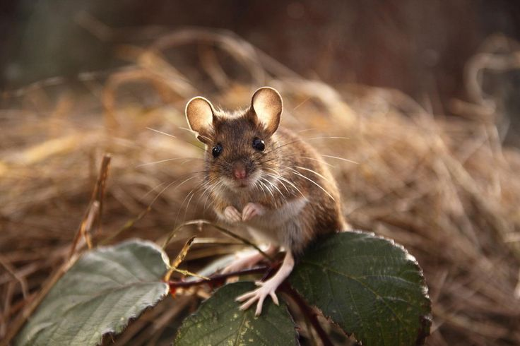 Wood Mouse - Wood Mouse Apodemus sylvaticus