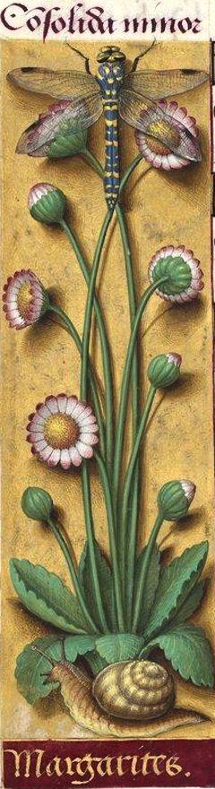 Margarites - Consolida minor (Bellis perennis L. = pâquerette, petite marguerite à fleurs blanches bordées de carmin) -- Grandes Heures d'Anne de Bretagne, BNF, Ms Latin 9474, 1503-1508, f°44v