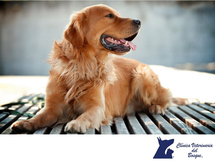 Golden Retriever. LA MEJOR CLÍNICA VETERINARIA DE MÉXICO. El Golden Retriever es una raza de perro que se desarrolló en el Reino Unido y más concretamente en Escocia. Su versatilidad, inteligencia, carácter amigable, alegría, elegancia, belleza y habilidad como perro de caza con aptitudes para el rastreo, también es muy utilizado como perro de asistencia para ciegos, sordos, niños diabéticos, etc., y todo esto ha hecho que esta raza apasione a millones de personas. #veterinariadelbosque