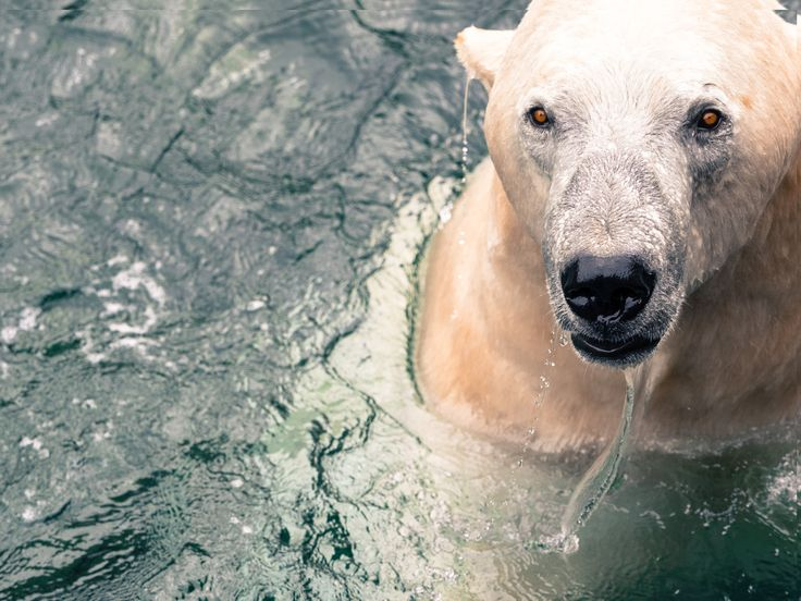Polar Bear - I shot this picture at the local Zoo