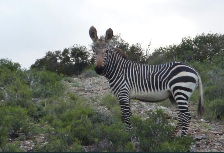 Cape zebra.