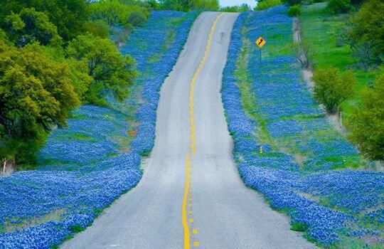 See the Texas Bluebonnets