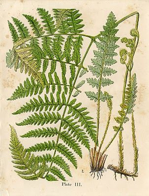 Print out & frame. one for each table. Vintage Graphic – Gorgeous Ferns – Early Botanical