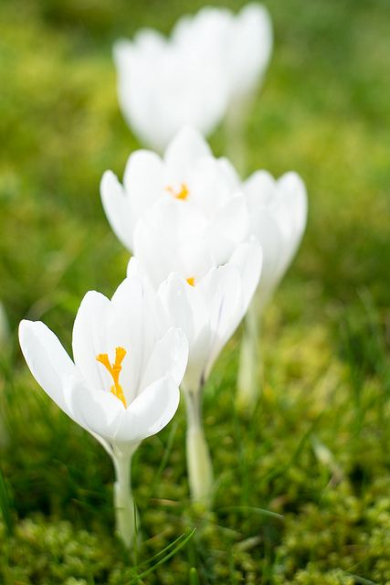 Crocus | Flickr - Photo Sharing!