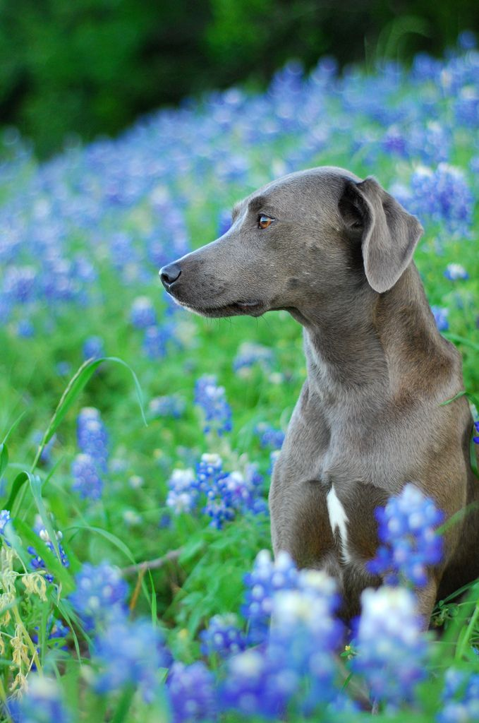 blue lacy puppies blue bonnet lacy 2 dogs hundar djur doge 8037