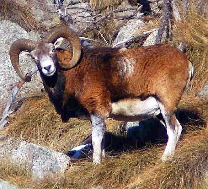 ANIMALI SELVATICI DELLA SARDEGNA. Il Muflone. E' uno degli animali caratteristici della Sardegna. Si tratta di un ovino selvaggio con grandi corna ricurve. Predilige le zone collinari e montane.