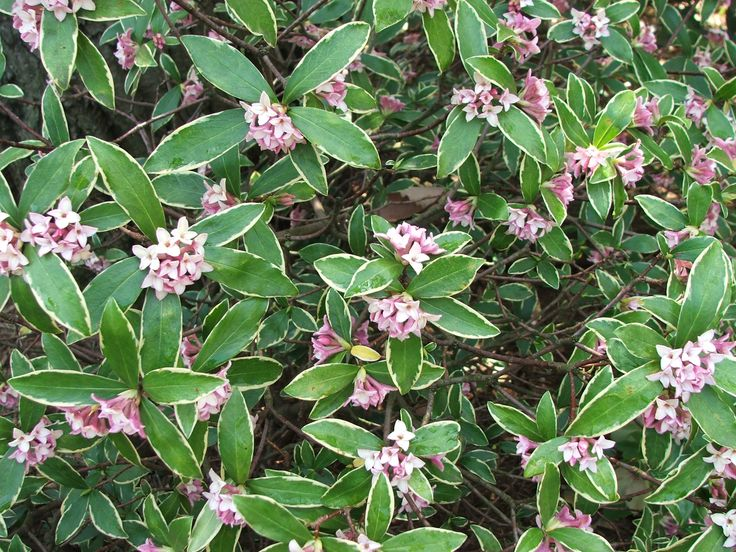 21 best winter scented shrubs images on pinterest patio plants the pink buds open to pale pink almost white and have such a powerful scent you can smell them a couple of houses away mightylinksfo Image collections