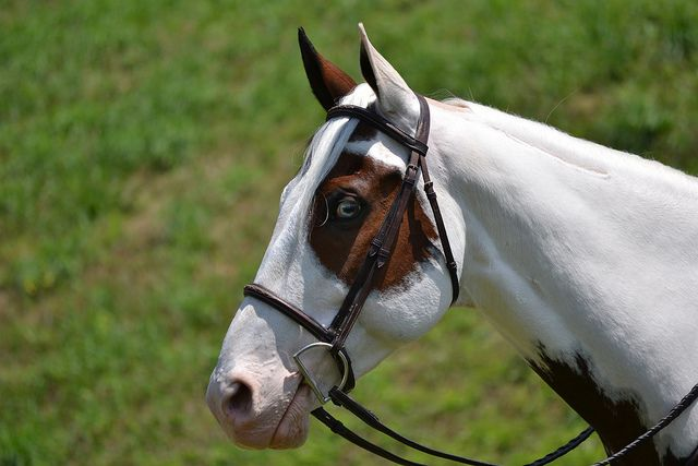 1000+ images about Horse Markings Galore: Lace Pintos on ... Lace Markings Horse