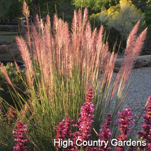 17 best images about muhlenbergia on pinterest gardens for Large grasses for gardens