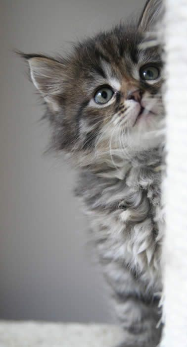Siberian Forest Cat Kitten.  So cute.  And FLUFFY!