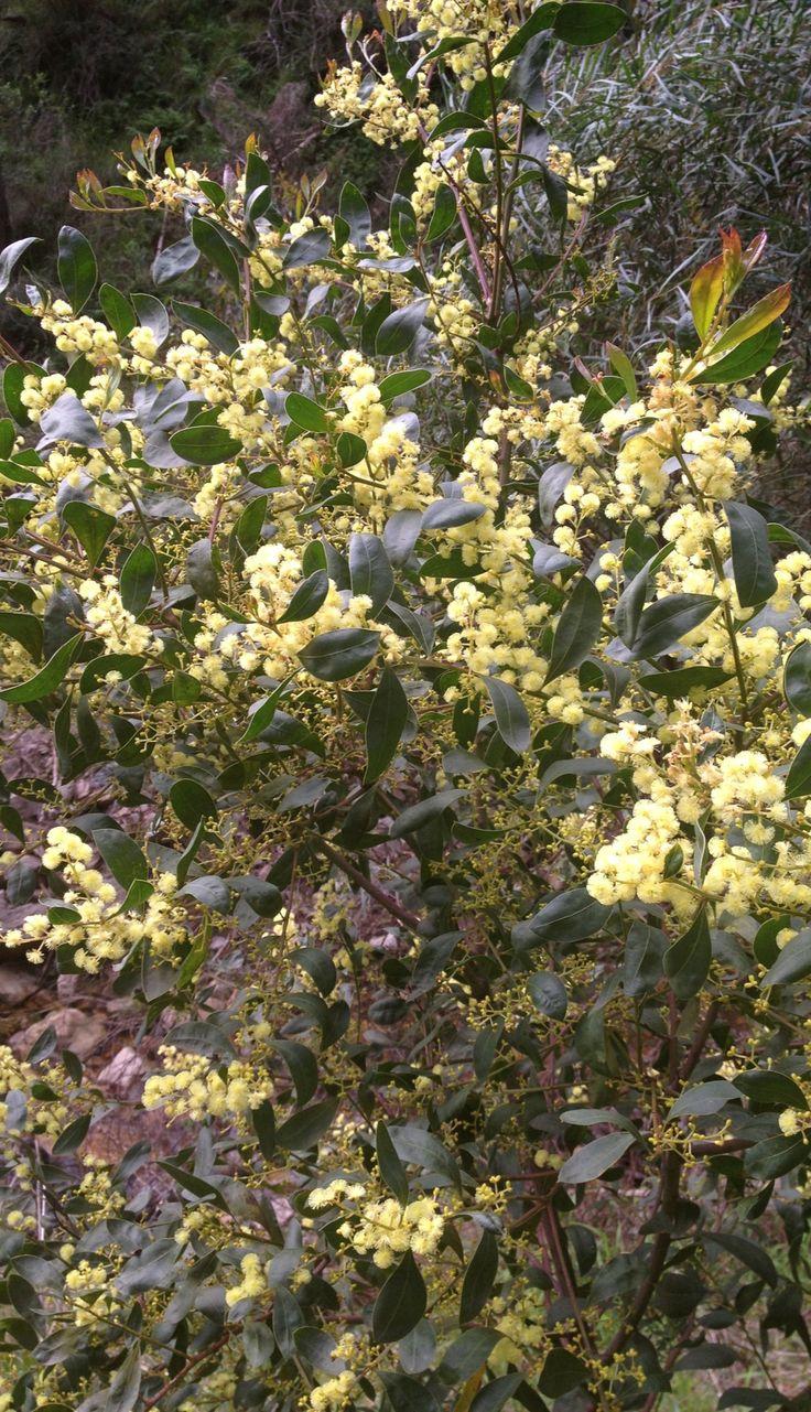 Acacia wattle in flower • Mount Lofty