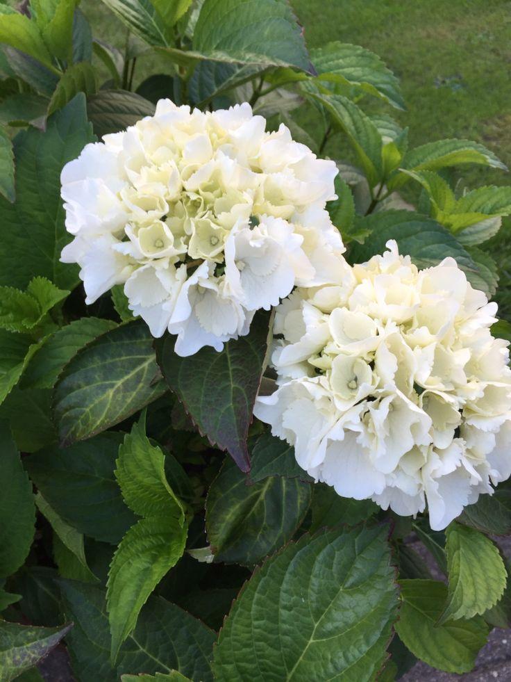 Skønne hortensiaer