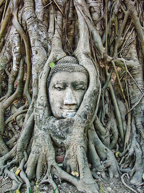 Ayutthaya, Thailand..buddha head sculpture overgrown by tree..beautiful ancient ruins of city after the Burmese invade..must see while in Thailand