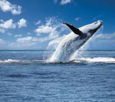 Gold Coast Whale Watching, Australia.  Check out a whale watching tour in the Gold Coast with Gift It Now. http://www.giftitnow.com.au/gold-coast/experiences/whale-watching-gold-coast-by-tall-ship