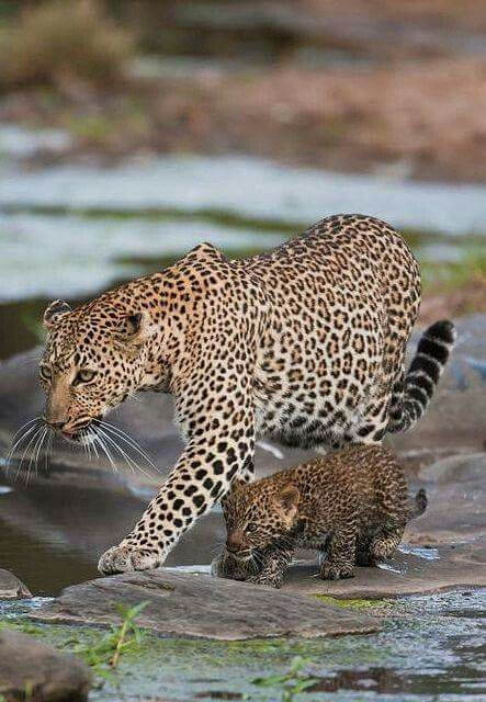 LEPARD Mama and her Cub