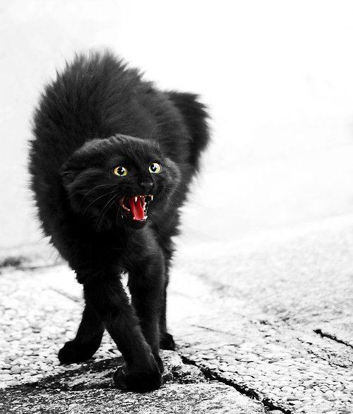 """Vous connaissez certainement cette posture caractéristique du """"chat noir d'Halloween"""" ? Mais que signifie-t-elle exactement ?  Le chat est de profil, mais sa tête est de face. Le dos est arqué, la nuque fléchie, les pattes tendues. Au niveau de la tête, les pupilles sont dilatées et les oreilles tournées vers l'arrière au maximum. Le chat est à la fois effrayé et agressif, il est en posture offensive. Gare à ne pas vous trouver sur son passage à ce moment-là !"""