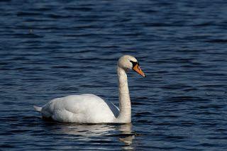 Joutsen (swan)