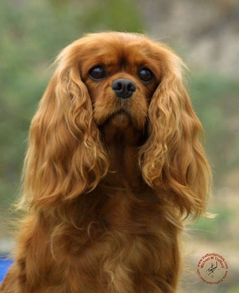 Cavalier King Charles Spaniel My Wish Is To Have A Ruby Colored Cavalier Cavalier King Charles King Charles Charles Spaniel