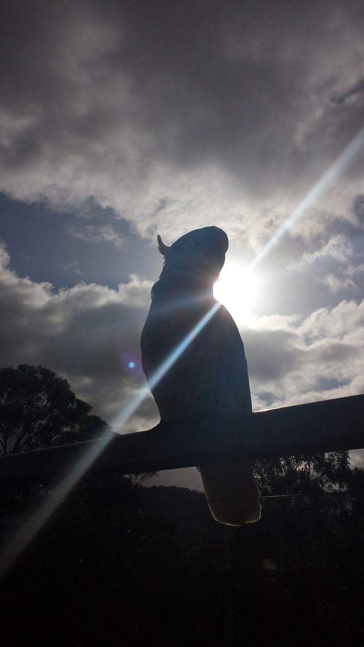 A beautiful Australian Cockatoo ❤