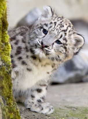 snow leopard pictures only | snow leopards prey so some snow leopards are dying from starvation ...