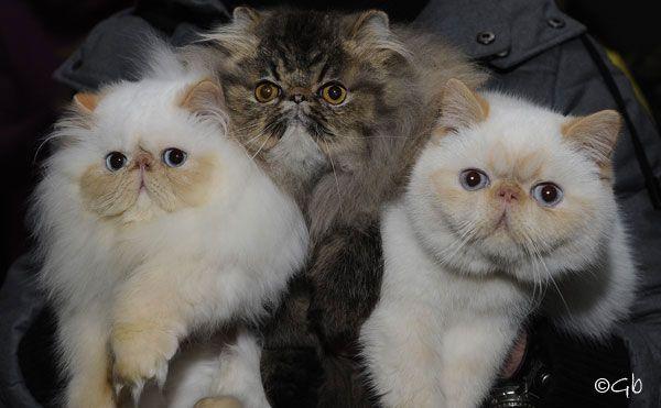 Allevamento di gatti persiani Guelfo Bianco Cattery