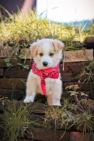 Oregon English Shepherd Puppies | Cute Sable and White puppy with a bandana