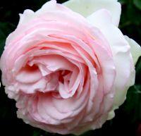 Róża Eden Rose 85® (Meilland 1985)- donica