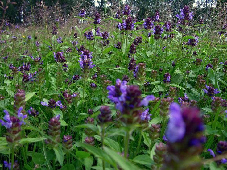 Brunört, Prunella vulgaris - Blomväxter - NatureGate