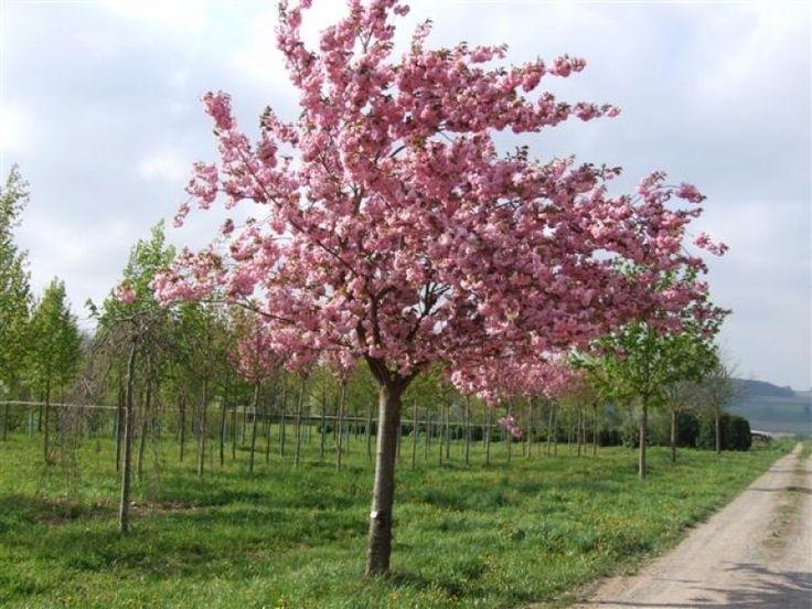 Japanse Sierkers | Prunus Serrulata Kanzan | Sierbomen