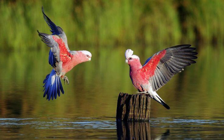 indah sepasang burung berwarna-warni hd wallpaper desktop: layar