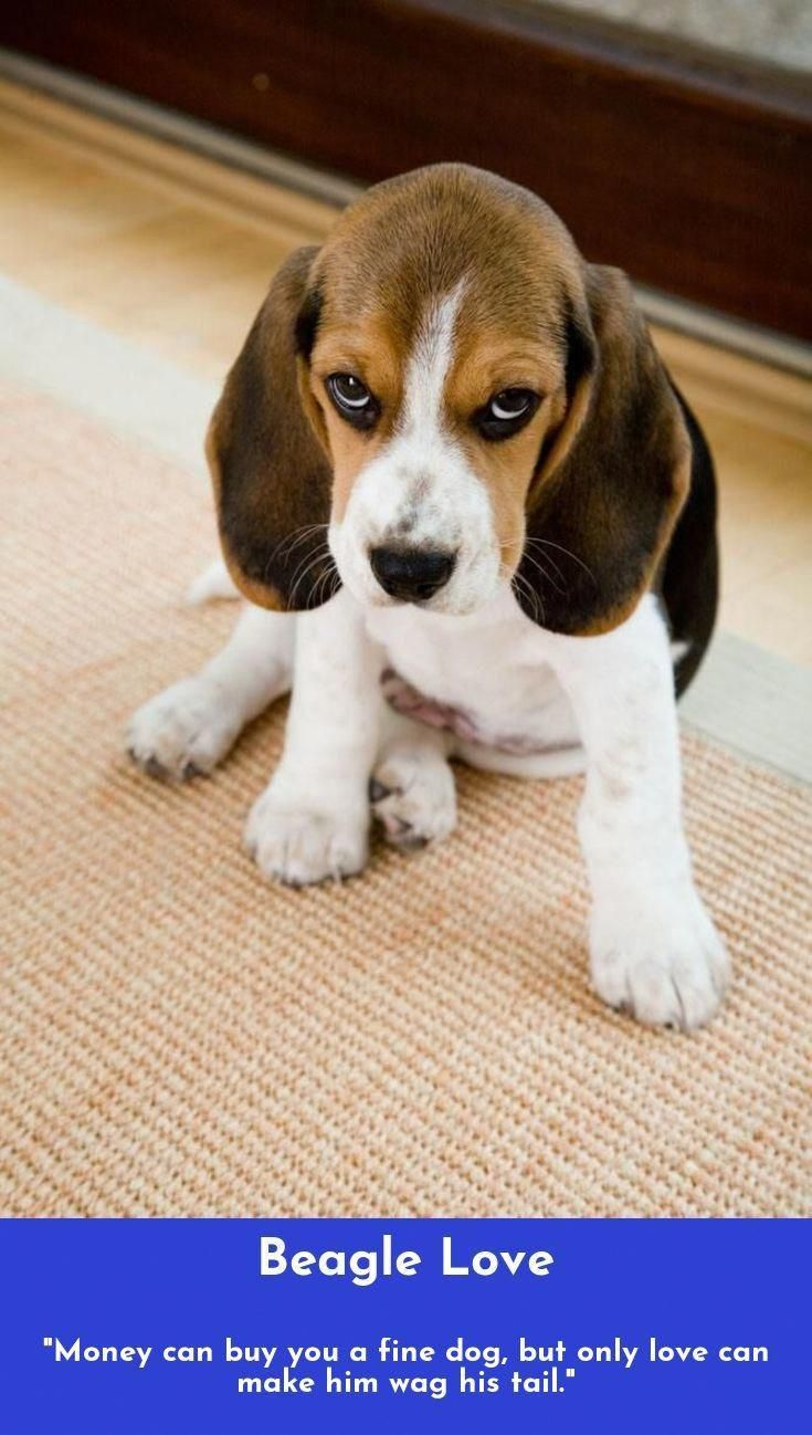 Read More About Beagles Beagles Check The Webpage To Learn More