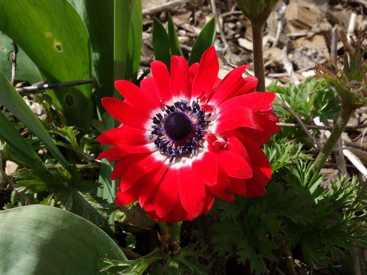 Anémone de Caen, Anémone des fleuristes, Anemone coronaria