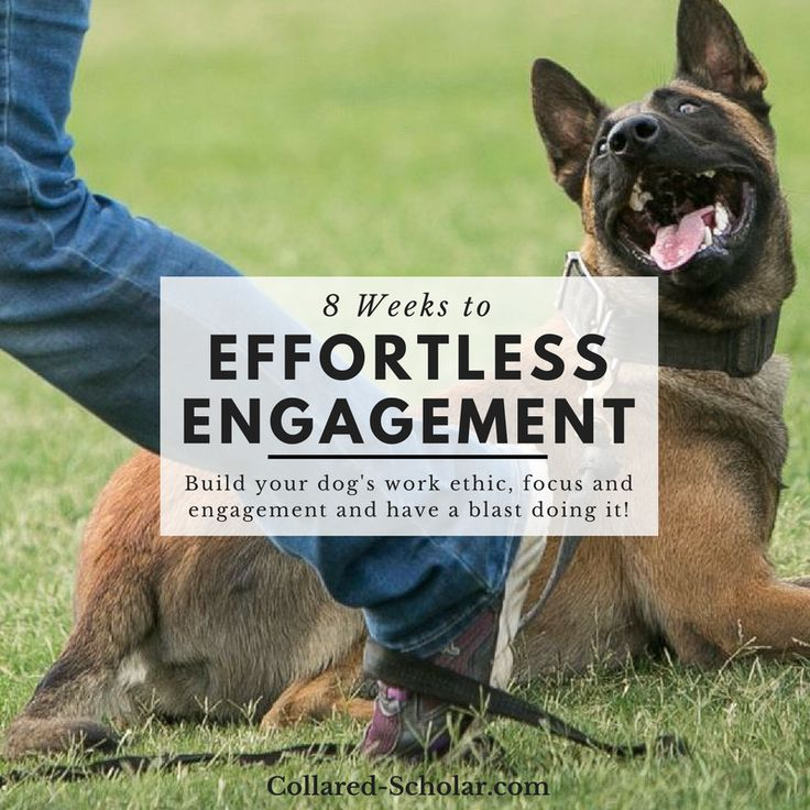 Build your dog's work ethic, focus and engagement and have a blast doing it! Register here:http://www.collared-scholar.com/engagement-4-2/ The fun begins February 6th, 2018 #dogtraining #meagankarnes #thecollaredscholar #dogengagement #dogfocus #workingdog #malinois #effortlessengagement
