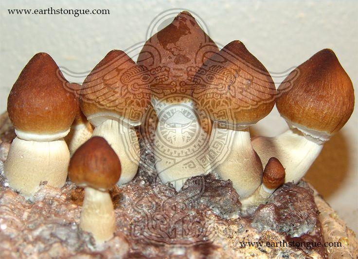 Psilocybe Cubensis | Psilocybe Cubensis: Brazil
