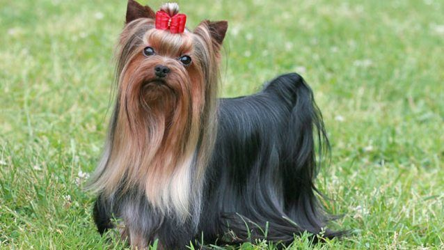 Yorkshire Terrier: The breed was developed during the last century by miners in the English county of Yorkshire who hoped to obtain a dog adapted to catching the terrible rats that infested the mine shafts. Crossings among