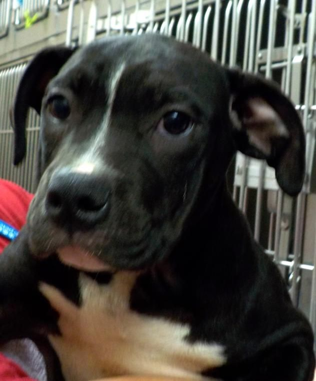 Rain - URGENT - Stark County Dog Warden in Canyon, Ohio - ADOPT OR FOSTER - Female Pit Bull Terrier PUPPY - Available September 30, 2017