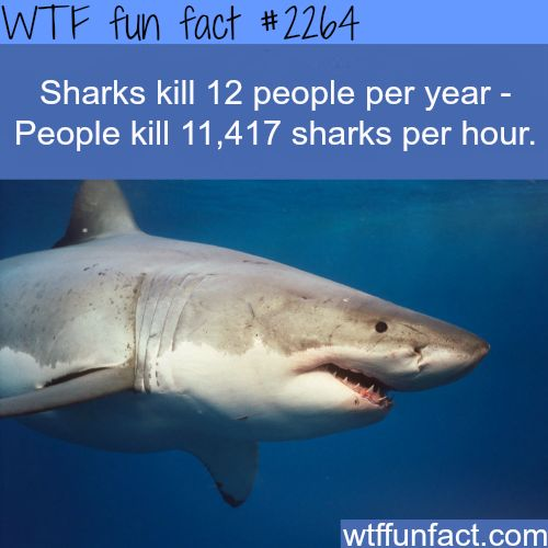 shark and sharks many people The international shark attack file lists the tiger shark as responsible for 111 unprovoked shark attacks, 31 of which were fatal tiger sharks will eat just about anything although their preferred prey includes sea turtles, rays, fish (including bony fish and other shark species), sea birds, cetaceans (ie, dolphins), squid, and crustaceans.
