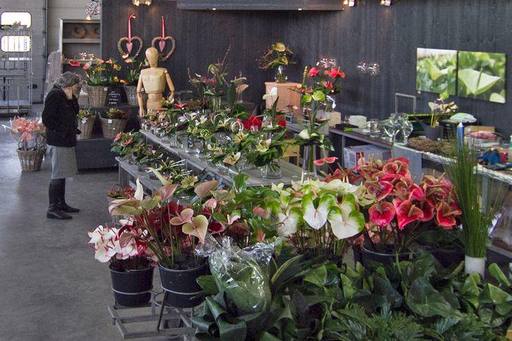 Anthurium verkoop, aan de kwekerij. Kwekerij Janssen, Maasbree