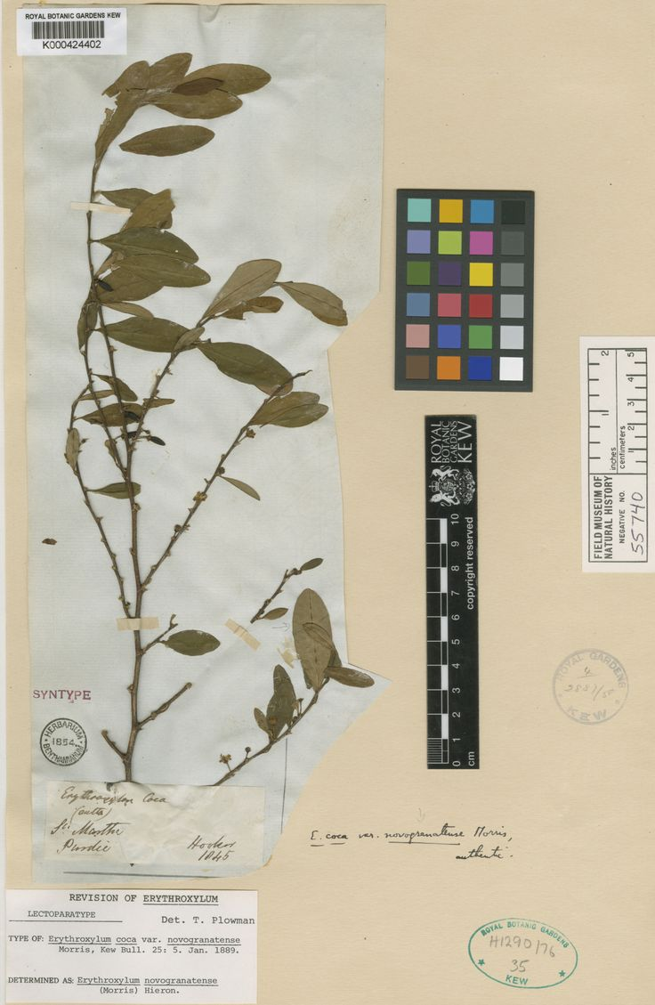 Specimen	K000424402 Current name	Erythroxylum novogranatense Collector & no:	Purdie       s.n.