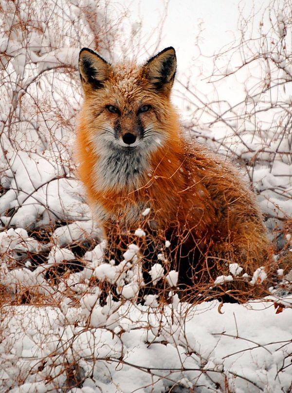 mr. fox's russet coat is stunning.
