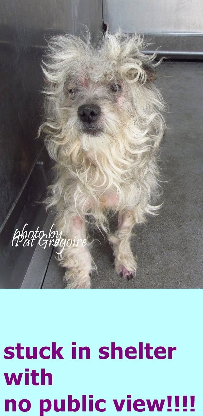 7/23 STILL THERE!!!! PLEASE SAVE !!!!A4853063 I am a very friendly 2 yr old male white/brown Terrier/Poodle mix. I came to the shelter on July 7 because I was abandoned.  Available 7/23/15. located in bldg 4 - no public view Baldwin Park shelter https://www.facebook.com/photo.php?fbid=996247613720409&set=a.705235432821630&type=3&theater