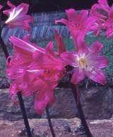 Pink ladies (naked ladies) amaryllis belladonna
