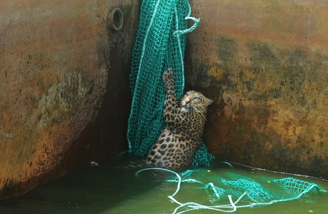 Amazing pics n story!  Workers at a tea plantation in the Indian state of West Bengal arrived at work to find that a wild leopard had fallen into a water tank.