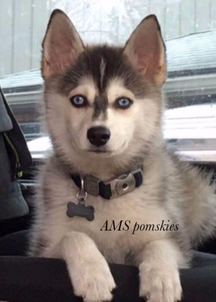 Ams Huskies And Pomskies Review Indiana Pomsky Breeder